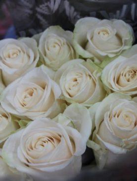 Роза Голландия, (50см)
